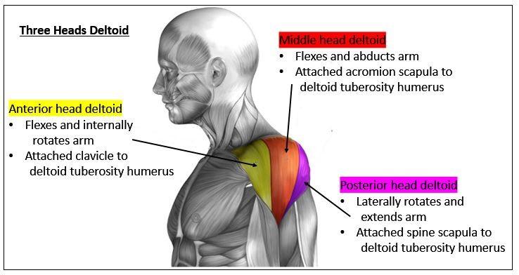 Las tres cabezas del deltoides entrenadas en calistenia